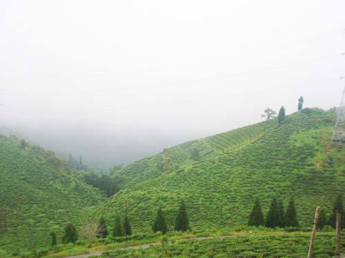 Tea Gardens Mirik